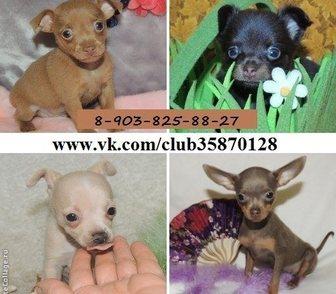 Изображение в Собаки и щенки Продажа собак, щенков ТОЙ-ТЕРЬЕРА чистокровных красивееееннных в Костроме 7500