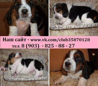 Изображение в Собаки и щенки Продажа собак, щенков БАССЕТ-ХАУНД чистокровных щеночков продам в Костроме 0