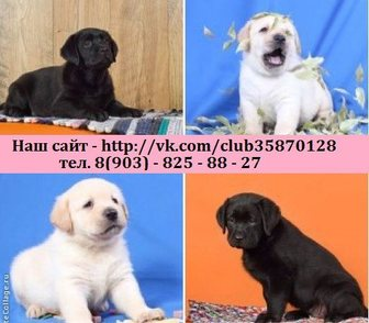 Фотография в Собаки и щенки Продажа собак, щенков Лабрадора чистокровных красивееееенных щеночков в Костроме 0
