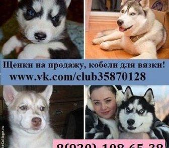 Изображение в Собаки и щенки Продажа собак, щенков ХАСКИ породных чистокровных щеночков разных в Костроме 0