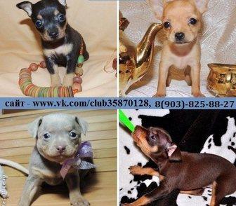 Фотография в Собаки и щенки Продажа собак, щенков Той-терьера чистокровных красивенных щеночков в Костроме 0