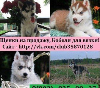 Фото в Собаки и щенки Продажа собак, щенков ХАСКИ чистокровных щеночков - продам по минимальным в Костроме 0
