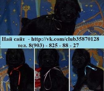 Фото в Собаки и щенки Продажа собак, щенков Недорого продам чистокровных щенков ризеншнауцера! в Костроме 0