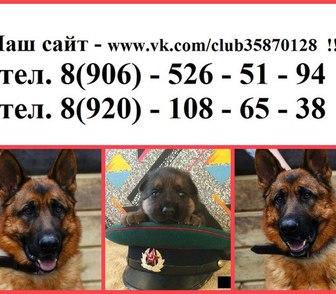Фотография в Собаки и щенки Продажа собак, щенков Крупных чистокровных щеночков немецкой овчарки в Костроме 0