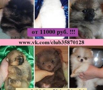 Фото в Собаки и щенки Продажа собак, щенков Чистокровных и не чистокровных щенков шпица в Костроме 11000