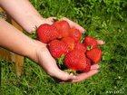 Изображение в   Продам рассаду клубники сорт Лорд, ягода в Коврове 30