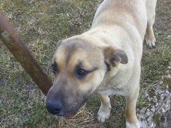 Скачать изображение Отдам даром - приму в дар отдам собаку в надежные руки 66369943 в Коврове