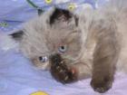 Фотография в Кошки и котята Продажа кошек и котят Продаются гималайские (персидские колор-пойнт) в Красноармейске 0