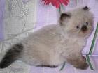 Фотография в Кошки и котята Продажа кошек и котят Персы колор-пойнты (гималайские) продаются. в Красноармейске 0