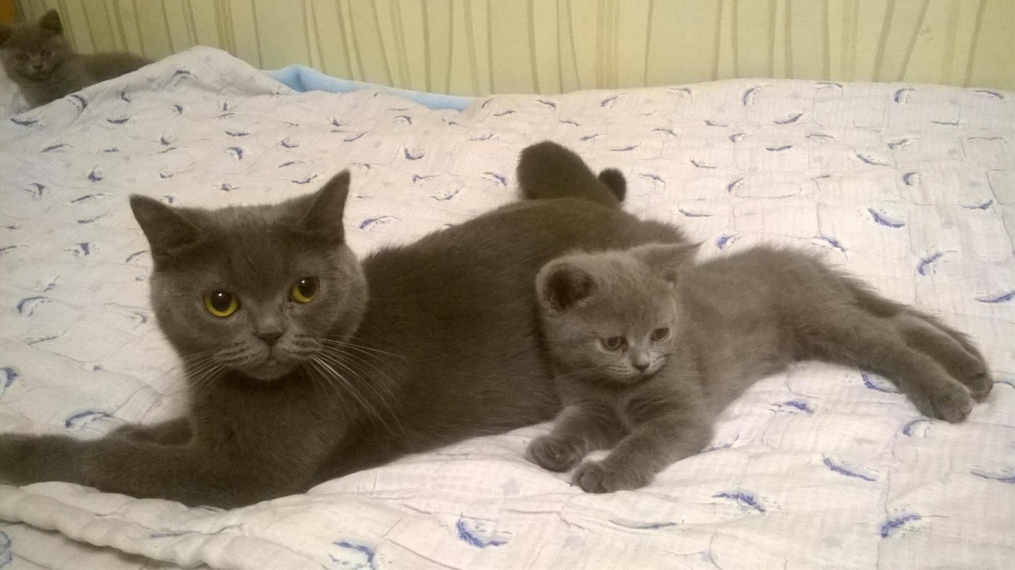 Какие бывают виды британских кошек? | 1150x2048