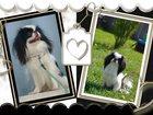 Фото в Собаки и щенки Продажа собак, щенков Питомник японских хинов rodnichok iz tiger в Краснодаре 35000