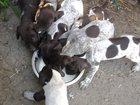 Изображение в Собаки и щенки Продажа собак, щенков Продам щенков курцхаар от рабочих родителей в Тихорецке 3500
