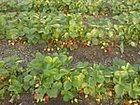 Изображение в Прочее,  разное Разное Продаю рассаду ремонтантной садовой клубники в Приморско-Ахтарске 30