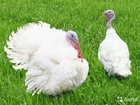 Скачать бесплатно фотографию Птички Индюшата Цыплята Утята 34230650 в Краснодаре