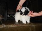 Фотография в Собаки и щенки Продажа собак, щенков Шикарная мини помераночка бело-чёрного окраса. в Краснодаре 35000