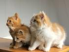 Фотография в Кошки и котята Продажа кошек и котят Доброго дня!   Так случилось, что мы не смогли в Краснодаре 0
