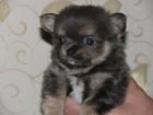 Фотография в   VIP - щенок длинношерстный чихуахуа голубо-подпалого в Евпатория 30000