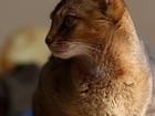 Фотография в Кошки и котята Вязка Абиссинская кошка, окрас дикий ищет абиссинского в Краснодаре 0