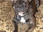 Фото в Собаки и щенки Вязка собак Молодой, энергичный, здоровый и ОЧЕНЬ воспитанный в Краснодаре 0