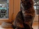 Фотография в Кошки и котята Продажа кошек и котят Продам в Краснодаре! Котик - загадка!   Очень в Краснодаре 0
