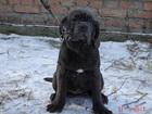 Фото в Собаки и щенки Продажа собак, щенков Продаются две девочки мастино наполетано. в Абинске 35000