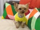 Новое изображение Вязка собак Предлогаем мальчика для вязки 38420808 в Краснодаре