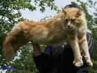 Изображение в Кошки и котята Вязка Приглашаю на вязку. в Краснодаре 0