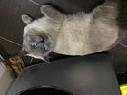 Скачать бесплатно foto Вязка Шикарный кот приглашает кошек 38982279 в Краснодаре