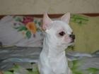 Новое фотографию Вязка собак Приглашение на вязку подругу 39213816 в Лабинске