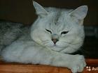 Скачать бесплатно фото Вязка кошек Прямоухий шотландский кот с отличной родословной 39995858 в Краснодаре