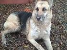 Скачать изображение Найденные питомцы Найдена собака, немецкая овчарка или метис с хаски 51483174 в Краснодаре