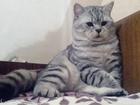 Смотреть фотографию Вязка кошек Здоровый кот ищет кошечку любой породы 66586110 в Краснодаре