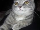 Смотреть foto Вязка кошек Шотландская вислоухая миниатюрная красотка ищет миниатюрного шотландского вислоухого котика 68126031 в Краснодаре