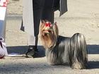 Новое фото Вязка собак Кобель йоркширского терьера открыт для вязки 68269497 в Анапе