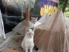 Увидеть фотографию Вязка кошек Тайский кот Семен приглашает к вязке 68434999 в Краснодаре