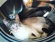 Молодой Котик срочно ищет кошечку для Вязки Молодой (10мес) домашний котик (без