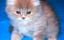 хайлендер редкие котята