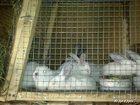 Просмотреть фотографию Грызуны Кролики 33193229 в Красноярске