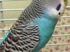 Свежее фотографию Птички Продам волнистых попугаев 34009176 в Красноярске