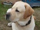 Фото в Собаки и щенки Вязка собак 5 лет, родословная, прививки делались. в Красноярске 0