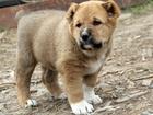 Изображение в Собаки и щенки Продажа собак, щенков Порода: Среднеазиатская овчарка  Продам щенков в Красноярске 10000
