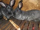 Увидеть фото  Кролики 36604631 в Красноярске