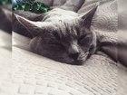 Свежее foto Вязка красивый кот ищет невесту 37136701 в Красноярске