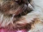 Фотография в   Персидская кошечка ищет котика перса. Кошечка в Красноярске 0