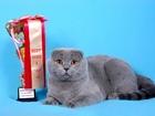 Изображение в Кошки и котята Вязка Шотландский вислоухий кот голубого окраса в Красноярске 0