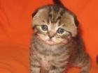 Изображение в Кошки и котята Продажа кошек и котят Резервирование (продажа!) шотландских вислоухих в Красноярске 0