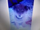 Фото в Собаки и щенки Продажа собак, щенков Найден щенок, мальчик месяца 3, ласковый, в Красноярске 0