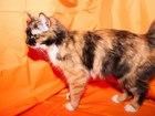 Новое изображение Отдам даром - приму в дар Отдам кошку в хорошии руки 38370153 в Красноярске