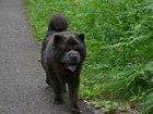 Свежее фотографию Вязка собак Вязка Чау-чау 38520549 в Красноярске