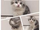 Фотография в   Продаются клубные шотландские котята. В помете в Красноярске 20000